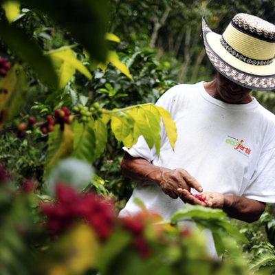 Coffee Cultivation and Economic Development in the Castañer Region